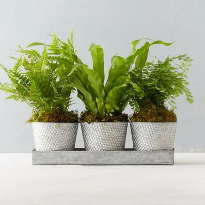 Potted Fern Trio
