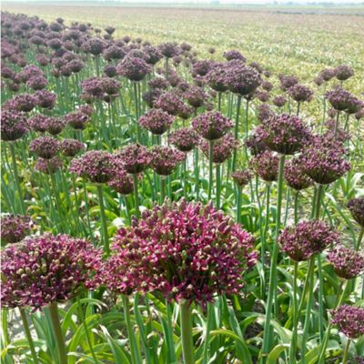 Allium 'Magic' Bulbs