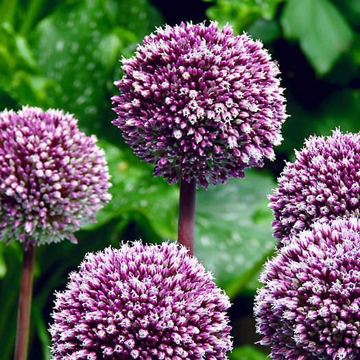 View larger image of Allium 'Summer Drummer' Bulbs