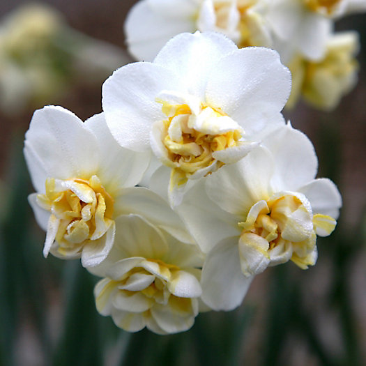 View larger image of Narcissus 'Cheerfulness' Jumbo Bulbs