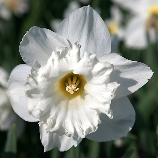 View larger image of Narcissus 'Mount Hood' Jumbo Bulbs