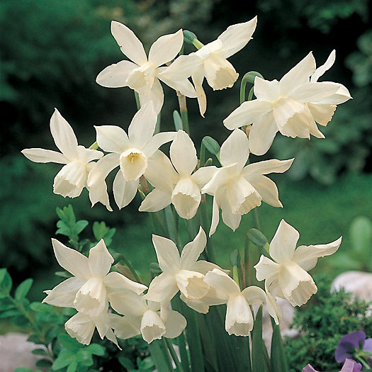 View larger image of Narcissus 'Thalia' Bulbs