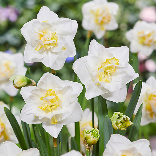 View larger image of Narcissus 'White Lion' Bulbs