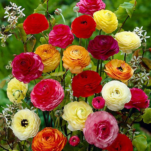 View larger image of Ranunculus Mix Bulbs