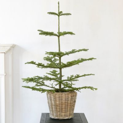 Tabletop Noble Fir