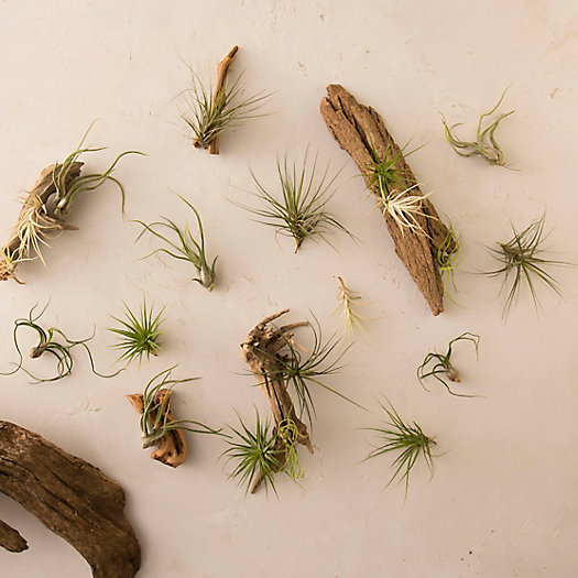 View larger image of Tillandsia Collection, Small
