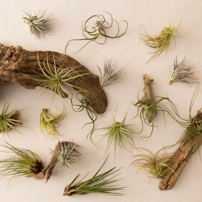 Tillandsia Collection, Medium