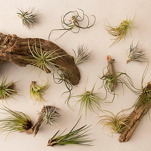View larger image of Tillandsia Collection, Medium