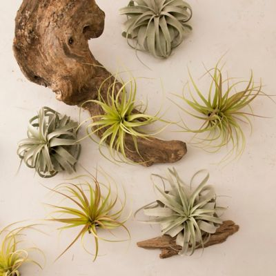 Giant Tillandsia