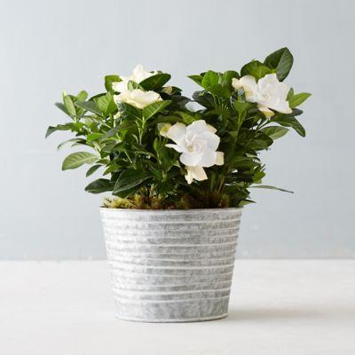 Gardenia, Ridged Pot
