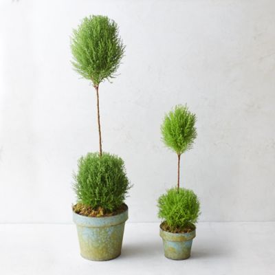 Lemon Cypress Double Topiary
