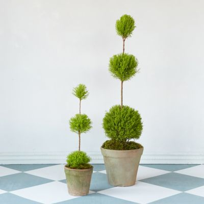 Lemon Cypress Triple Topiary