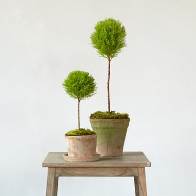 Lemon Cypress Single Topiary