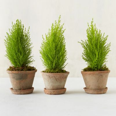 Lemon Cypress Cone Topiary Trio