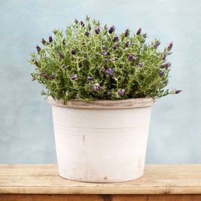 Bergs Banded Planter