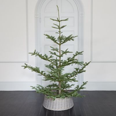 Fresh Cut Natural Noble Fir