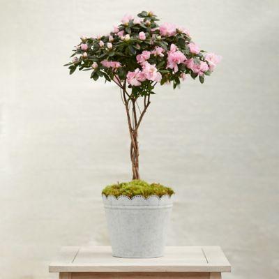 Braided Azalea Topiary