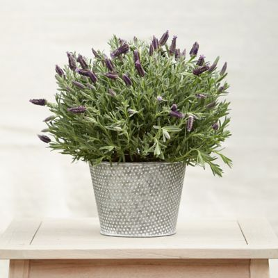 Spanish Lavender, Dotted Pot