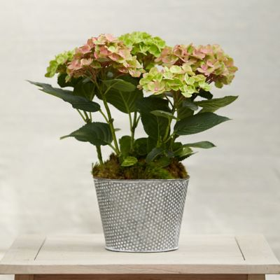 Carousel Hydrangea, Dotted Pot