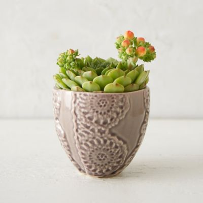 Echeveria, Lace Pot