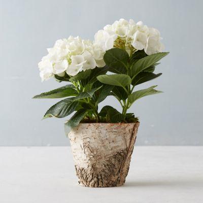 Glory Hydrangea, Birch Pot