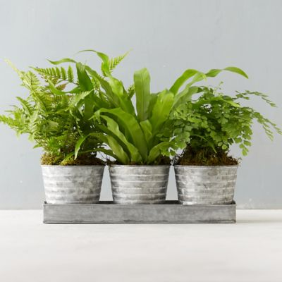 Ridged Pot Fern Trio