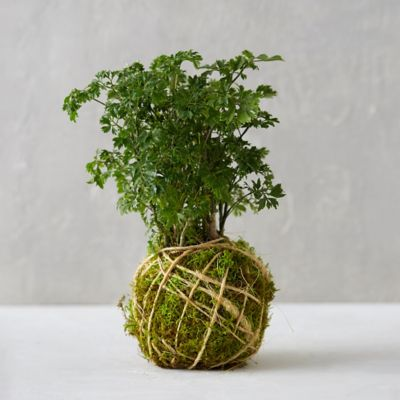 Parsley Aralia String Garden