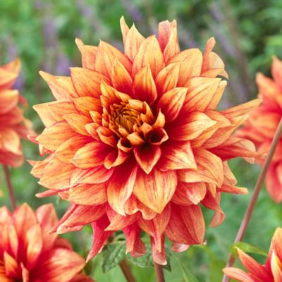 'Dazzling Magic' Dahlia Bulbs
