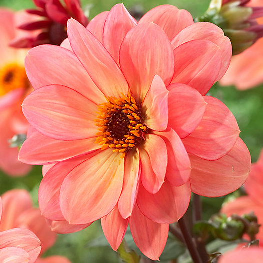 View larger image of 'Classic Poeme' Dahlia Bulbs