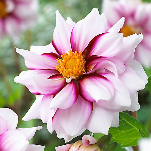 View larger image of 'Edge of Joy' Dahlia Bulbs