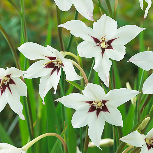 View larger image of 'Acidanthera' Gladiolus Bulbs