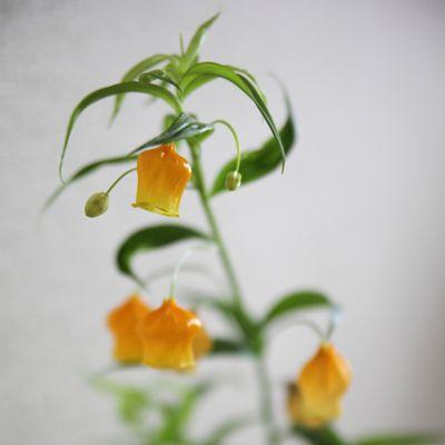 Sandersonia aurantiaca Bulb