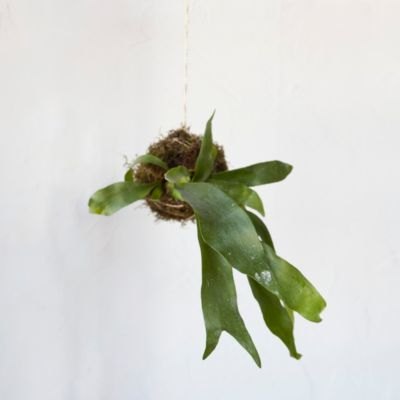 Staghorn Fern String Garden
