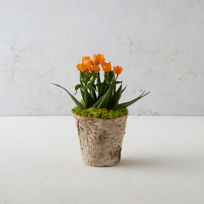Sun Star Ornithogalum, Birch Pot