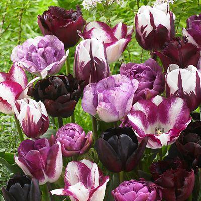 Tulip 'Endless Spring' Bulbs