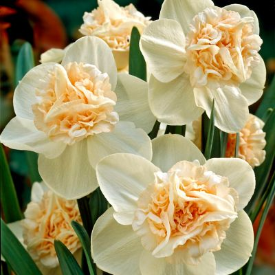 Narcissus 'Rosy Cloud' Bulbs