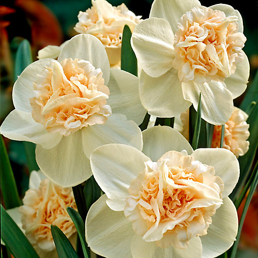 View larger image of Narcissus 'Rosy Cloud' Bulbs
