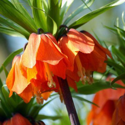Fritillaria rubra Bulb*