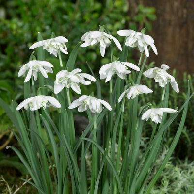 Galanthus 'Double' Bulbs