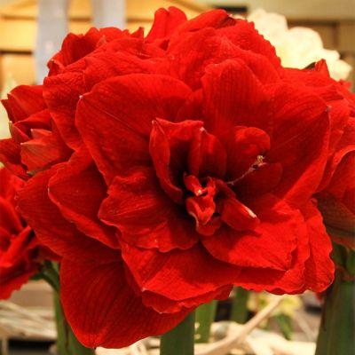 'Cherry Nymph' Amaryllis Bulb