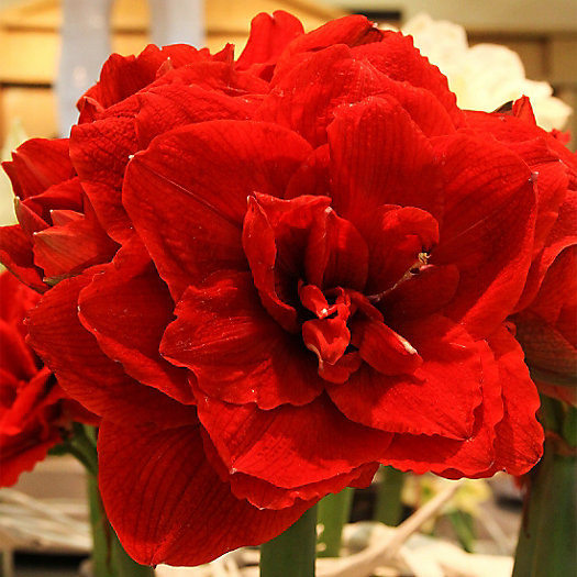 View larger image of 'Cherry Nymph' Amaryllis Bulb