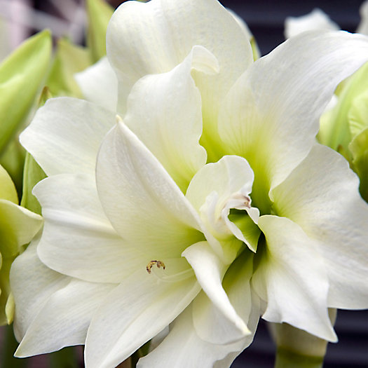View larger image of 'Ice Queen' Amaryllis Bulb