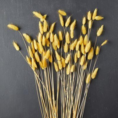 Dried Lagurus Bunch