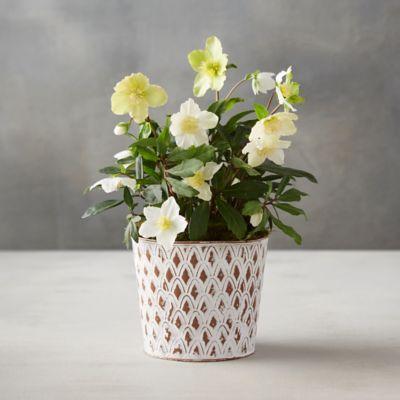 White Hellebore, Pinecone Pot