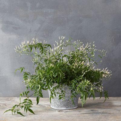 Cascading Jasmine, Dotted Pot