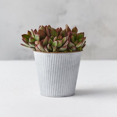 'Devotion' Echeveria, Striped Pot