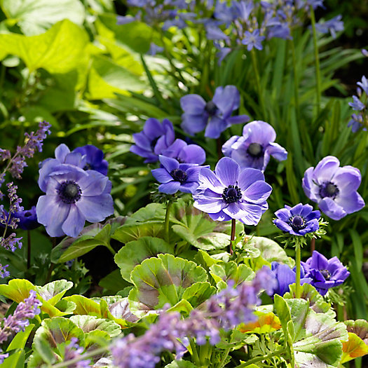 View larger image of 'Mr. Fokker' Anemone Bulbs