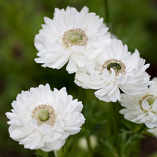 View larger image of 'Mount Everest' Anemone Bulbs