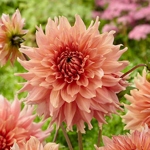 View larger image of 'Fairway Spur' Dahlia Bulbs