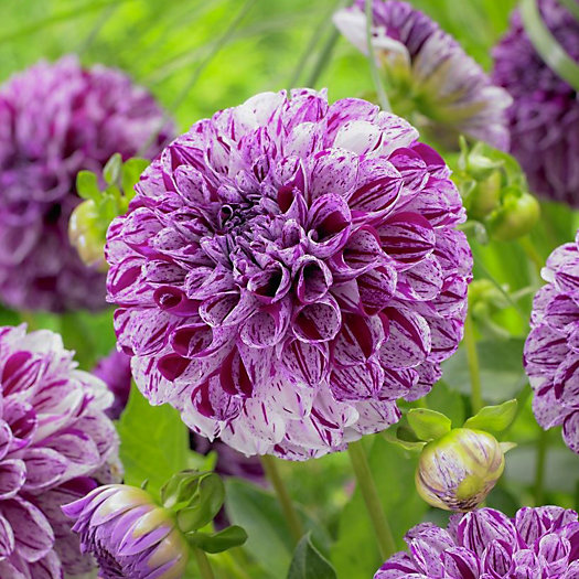 View larger image of 'Marble Bell' Dahlia Bulbs